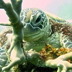 Green Turtle enjoying some algae for an afternoon snack