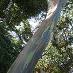 rainbow trunk tree