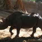 Rhino was walking about