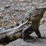Large iguana near restaurant