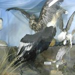 condor disecado