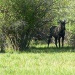 Moose near Williams Reservoir