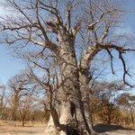 baobab tombeau