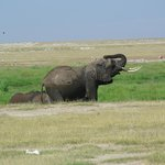 Elephant bathing to keep cool