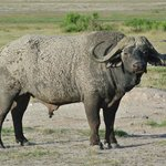 Big bull Cape Buffalo