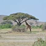 Great pic with an acacia tree in the background