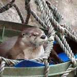 Cute liver otter