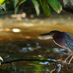 Green Heron, sunrise boat tour, Feb 2014