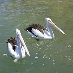 Watch the pelicans in Leach Park