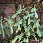 Philodendron panduriforme