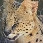Serval trying to stay cool
