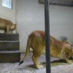 母子ライオン