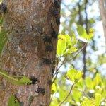 Tree crabs