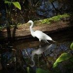 One of many beautiful egrets on Corkscrew walk