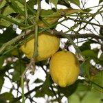 Árbol frutal en el jardín privado