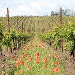 Vinhas - Vineyards