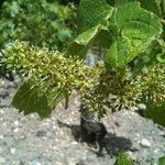 Fleurs de vignes/Grapevine blooming