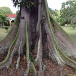One of the amazing trees at the Botanical Garden