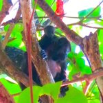Howler monkey momma and baby just outside our room