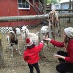 Feeding the goats and llama
