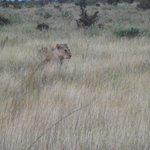 il safari e l'incontro più emozionante - il leone