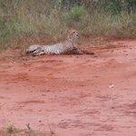 a pochi metri dal principe della savana - il ghepardo-