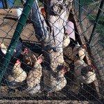 Las gallinas!