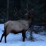 Huge Elk near our room