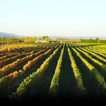 Waimea Estates Vineyard