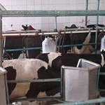 Cows during the milking process