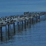 cormorans sur le vieux ponton