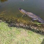 Gator at Big Cypress