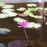 Озерцо с лотосами