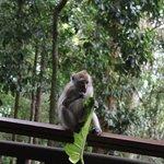 Monkey enjoying his food on our room balcony