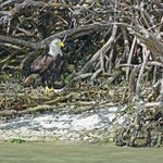 Bald eagle with fish at base of Mangrove tree
