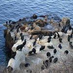 даунтаун лежбище морских львов