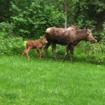 Mama and baby moose visit the hotel summer of 2013