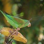 Orange-chinned parakeet at feeder tree