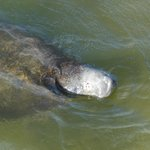 Close-up of manatee sticking head out of the water