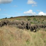 Elephants on morning game drive