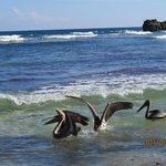 The pelicans on the beach in front of our room
