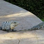 A couple of Iguanas that live on the resort. Really interesting creatures.