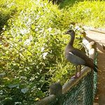 An Egyptian goose checks out the koi pond