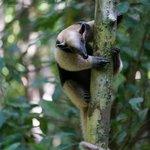 Tamandua in Corcovado