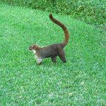 Coati that roams the grounds