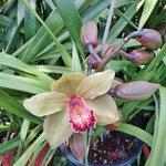 Orkide have