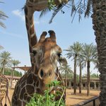 Жирафов и многих кругих копытных можно кормить с рук