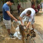 Washing Tiger