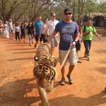 Walking the 4 year old tiger