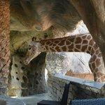 Giraffen-Cafe, Tiere füttern erlaubt!
